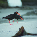 langebaan-oystercatchers